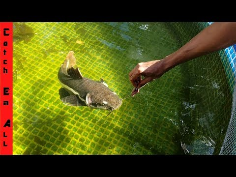 New Monster Fish Rules the Pool Pond: THE FALL OF SHAMU!