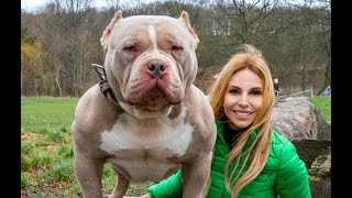 DANGEROUS OR GOOD PETS? THE AMERICAN BULLY DOG