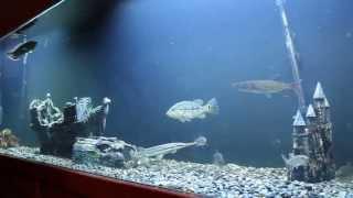 Youngster Tiger fish, Payara, Xingu Peacock bass, and Black Arowana