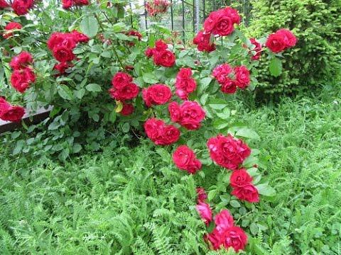 многолетние цветы растение фото