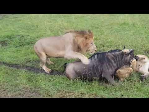 Wildebeest killed by pack of Hyenas & Lions in Masai Mara North, Kenya