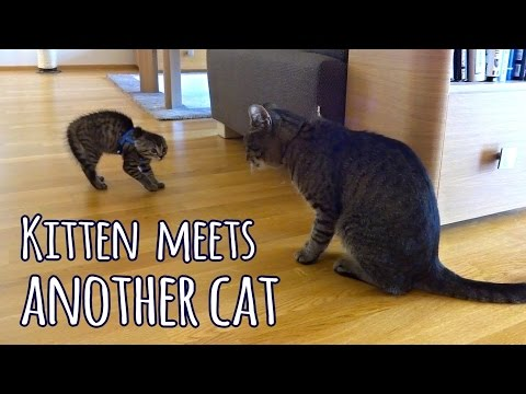Kitten meets another cat (for the first time)