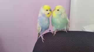 Выставочные волнистые попугаи. Волнистые попугаи Спб. Говорящий волнистый попугай.