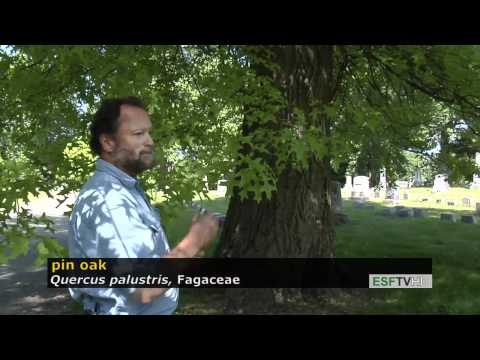 Trees With Don Leopold - Pin Oak