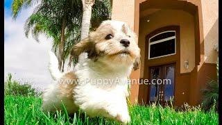 Bigelow Our Teddybear Maltese X Shihtzu Cross Puppy Hypoallergenic