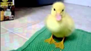 yavru ördek