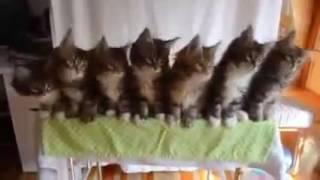 Котята танцуют выгу выгу выгу