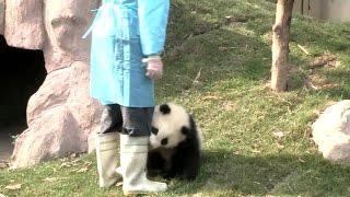 这个名叫奇一的熊猫宝宝喜欢抱腿成了网红 8.3亿人看过它视频 / The most popular clingy panda baby Qi Yi