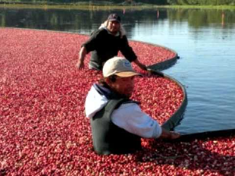 Crazy for Cranberries - an education video about Cranberry production