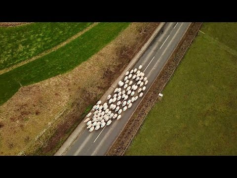 SHEEP ON THE MOVE