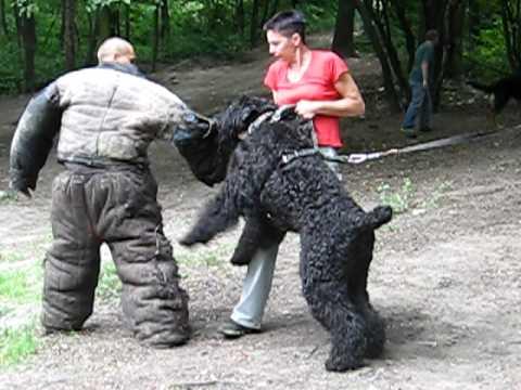 фото русский терьер черный