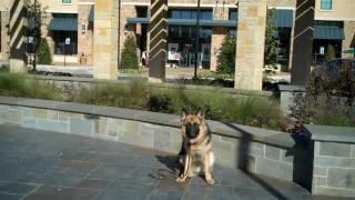 Charlie The German Shepherd | Redeeming Dogs | Dfw Dog Training