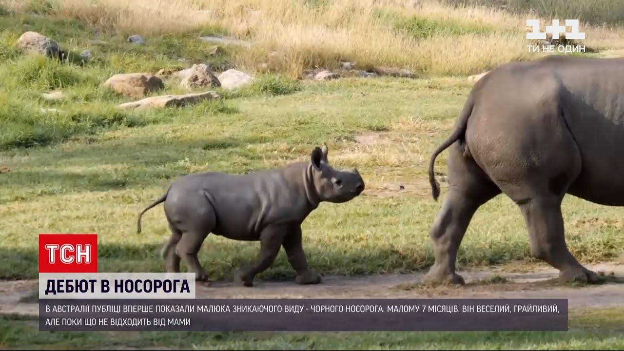 Новини світу: в Австралії публіці вперше показали малюка чорного носорога