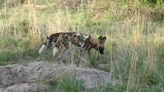 African wild dogs hunting warthog