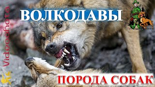 Волкодавы -  ГИГАНТСКИЕ породы собак! Videoohota
