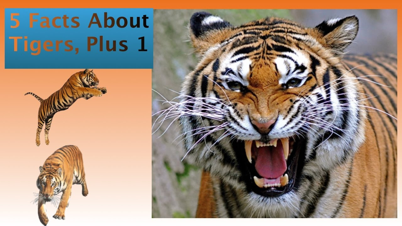 5 Facts About Tigers, For Kids - YouTube