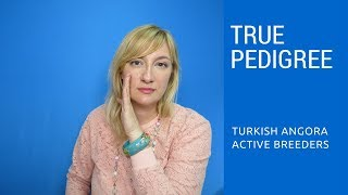 Turkish Angora True Pedigree  Avoid Fraud!