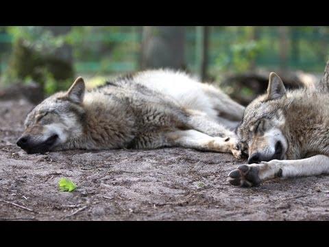 zwei schwule wölfe ficken