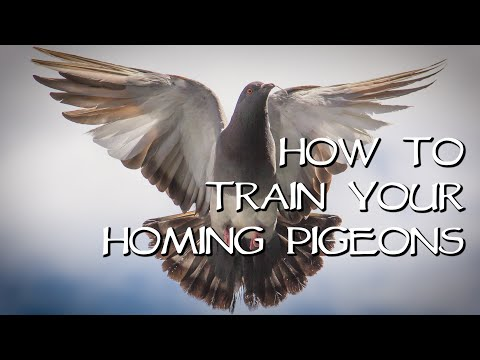 Homing Pigeons - Teach Your Birds Come Home!