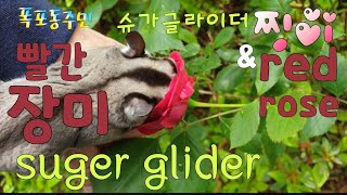 [kobo jeong] 슈가글라이더와 빨간 장미♡ Su…