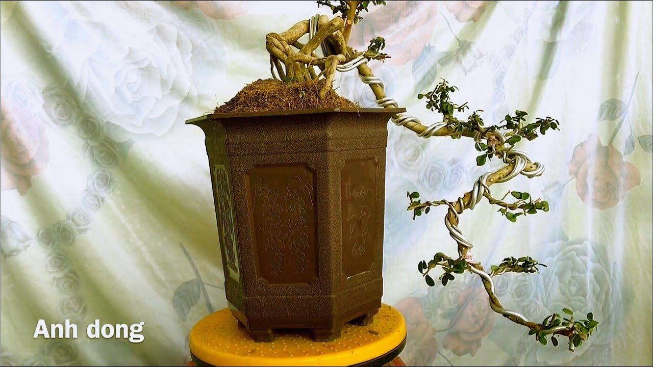 Uốn cây sam trái bonsai dáng đỗ