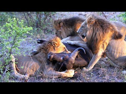 Male Lions Hunt And Kill A Buffalo ( Majingilane Males )
