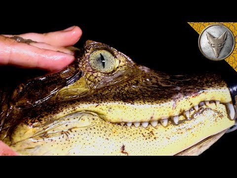 The Vision of a Caiman!