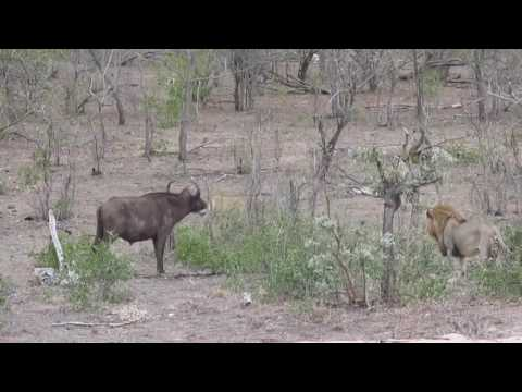 Lion kill in the Kruger National Park South Africa