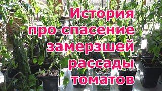 Что делать и как спасти подмерзшую рассаду томатов