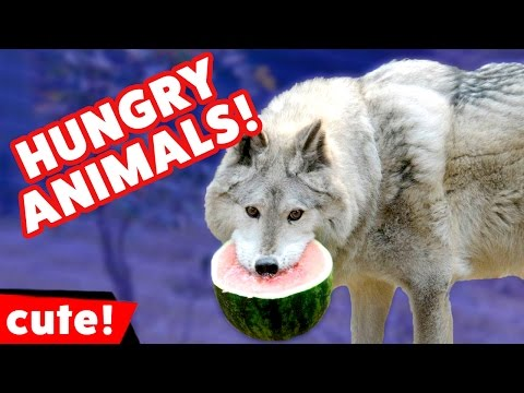 Funniest Hungry Pet Videos It's Feeding Time Compilation | Kyoot Animals