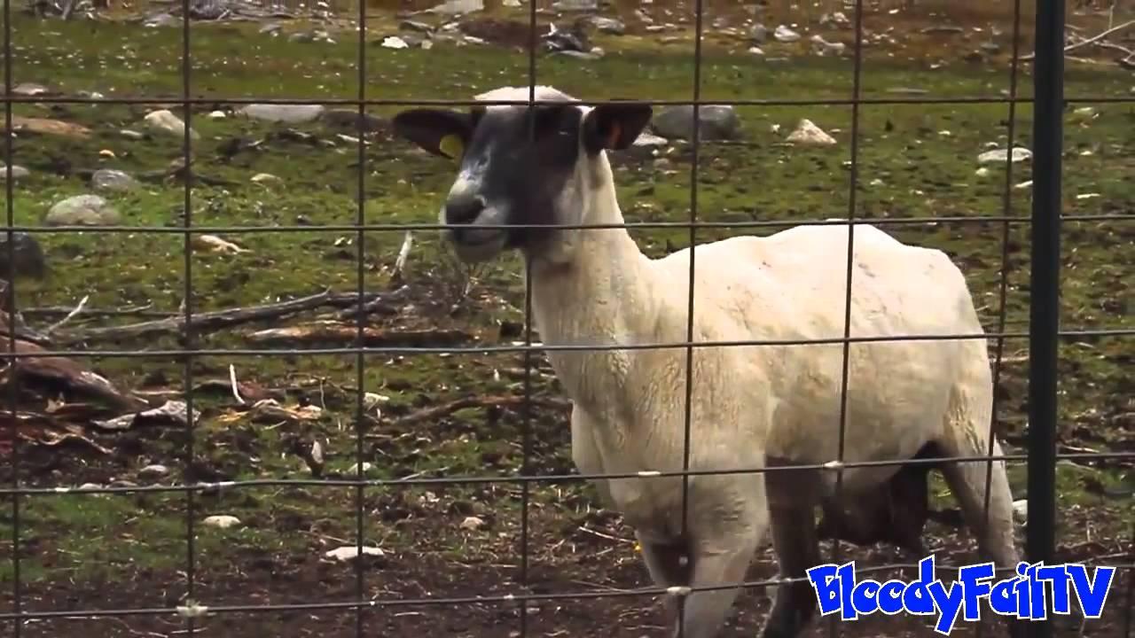 The Screaming Sheep(2) - YouTube  Mom Screaming Goats Funny