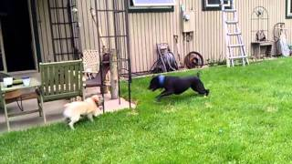 Pit Bull Pug Zoomies Adorable Tackle