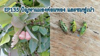EP135 คลินิกเกษตร ปัญหาแมลงค่อมทอง และชมพู่เน่า
