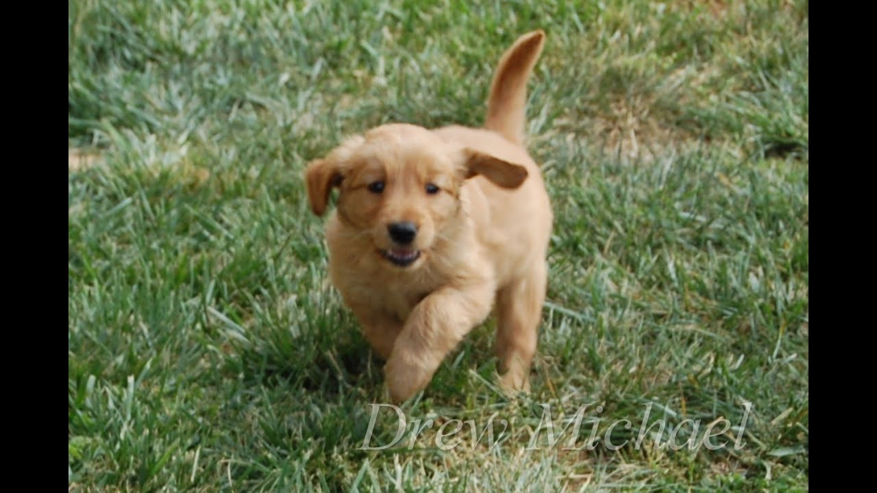Cute Baby Golden Retriever Puppy Dog Budweiser Lost Puppy