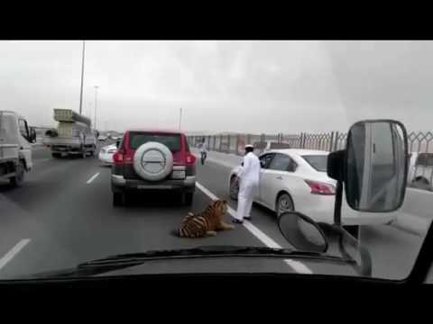 Tiger Gets Loose On A Doha Freeway In Qatar!