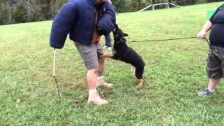 """German Shepherd Male """"vinny"""" Jacket Work"""