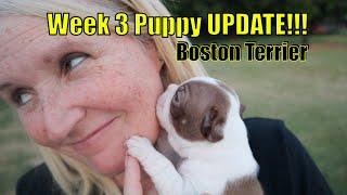 Boston Terrier Puppies at 3 Weeks 2021 | Week 3 Update