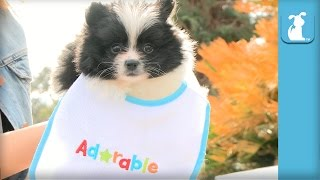Pomeranian Puppy In A Baby Bib Is Awesome - Puppy Love