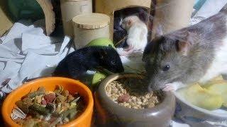 У нас ПОПОЛНЕНИЕ!!! / Новый ДОМ для МАНЮНИ 🐭 Детский сад для крысят 🐭 LizaTube