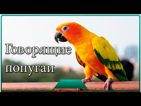 Коленях мужика ролики с говорящими попугаями бабой