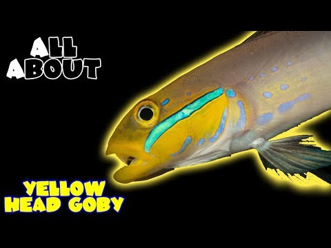 All About The Yellow Head Goby Or Sleeper Gold Head Goby