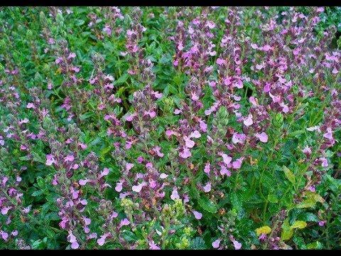 Дубровник обыкновенный   Teucrium chamedrys