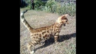 Бенгальский котёнок 2,5 мес. розетка на золоте