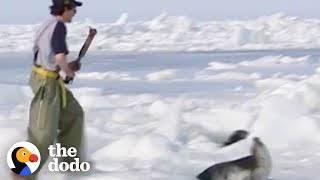 People Are Killing Thousands of Baby Seals to Make Fur Coats | The Dodo