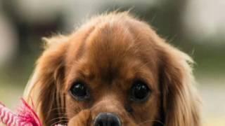 Топ-4 собак которые не линяет