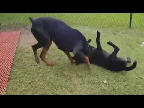 10 Doberman Videos To Bright Up Your Day Enjoy :) Dogs