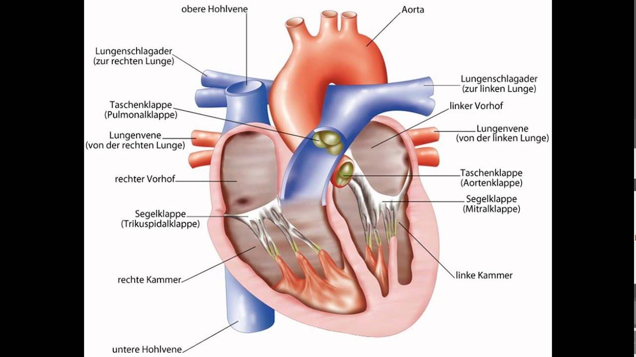 Nett Anatomie Des Herzens Und Seine Funktionen Ideen - Menschliche ...
