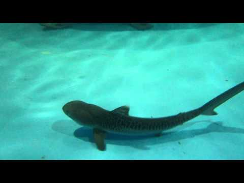 Baby tiger shark - You...