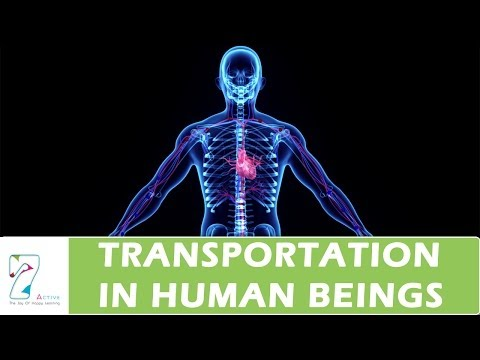 Transportation In Human Beings