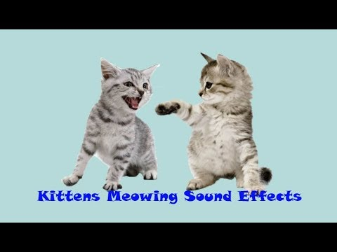 Animal Sounds: Kittens Meowing Sound Effects